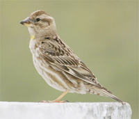 Rock Petronia (Sparrow)