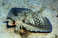 Dactylopterus volitans, Flying gurnard: fisheries, gamefish, aquarium