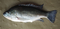 Oreochromis hunteri, Lake Chala tilapia: fisheries
