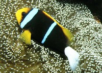 Amphiprion chrysopterus, Orangefin anemonefish: fisheries, aquarium