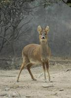 Image of: Hydropotes inermis (Chinese water deer)