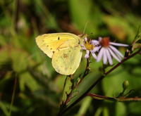 Image of: Colias philodice (clouded sulphur)