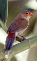 Image of: Estrilda melpoda (orange-cheeked waxbill)