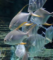 Trachinotus blochii - Asian Pompano