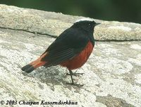 White-capped Water Redstart - Chaimarrornis leucocephalus