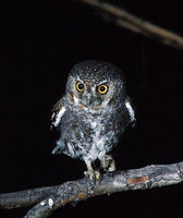 Elf Owl (Micrathene whitneyi) photo