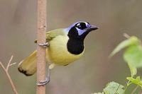 Green Jay (Cyanocorax yncas) photo