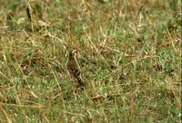 Plain-backed Pipit - Anthus leucophrys