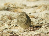 Rock Pipit - Anthus petrosus