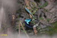 Red-winged Fairywren - Malurus elegans