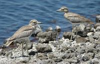 Water Thick-knee p.120