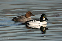 : Bucephala clangula; Common Goldeneye
