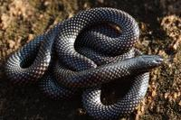 : Micrelaps vaillanti; Desert Black-headed Snake