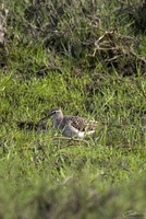 Tringa glareola   Wood Sandpiper photo