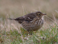 Buff-bellied Pipit Photograph by Mark Breaks