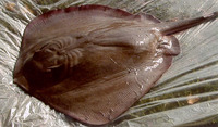 Dasyatis say, Bluntnose stingray: