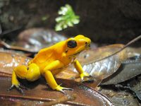 In Columbia exibit - orange Phyllobates terribilis