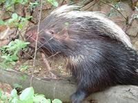Image of: Hystrix africaeaustralis (Cape porcupine)