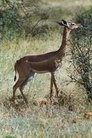 Image of: Litocranius walleri (gerenuk)