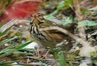 Image of: Anthus hodgsoni (olive-backed pipit)