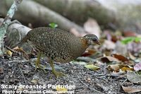 Scaly-breasted Partridge - Arborophila chloropus