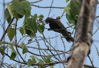 Greater Vasa Parrot (Coracopsis vasa) photo