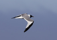 Sabine's Gull (Xema sabini) photo