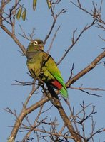 Scaly-headed Parrot - Pionus maximiliani