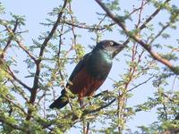 Chestnut-bellied Starling, Lamprotornis pulcher; Eritrea - Date unknown ?? Jugal Tiwari