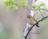 Red-flanked bluetail C20D 02714.jpg