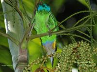 Gold-whiskered Barbet, Underside