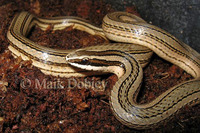 : Conophis lineatus; Road Guarder