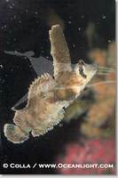 ...Image 07894, Sailfin sculpin., Nautichthys oculofasciatus, Phillip Colla, all rights reserved wo
