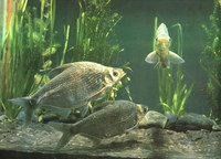 Megalobrama amblycephala, Wuchang bream: fisheries, aquaculture