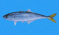 Oligoplites refulgens, Shortjaw leatherjack: fisheries