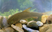 Barbus barbus, Barbel: fisheries, aquaculture, gamefish, aquarium