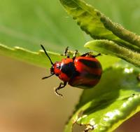 Image of: Chrysomelidae (leaf beetles)