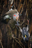 Image of: Colaptes auratus (northern flicker), Sturnus vulgaris (European starling)