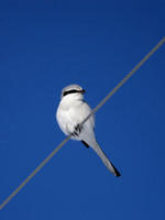 Image of: Lanius sphenocercus (Chinese grey shrike)