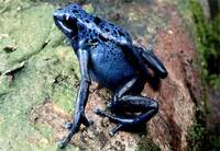 Photo: A rare and endangered blue poison dart frog