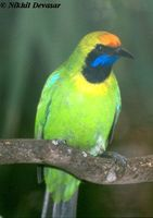 Golden-fronted Leafbird - Chloropsis aurifrons