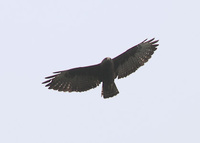Short-tailed Hawk (Buteo brachyurus) photo