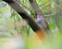 Orange-billed Nightingale-Thrush (Catharus aurantiirostris) photo