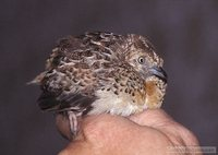 Small Buttonquail - Turnix sylvatica