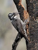 Three-toed Woodpecker (Picoides tridactylus) photo