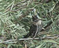 Ring Ouzel (Turdus torquatus) photo