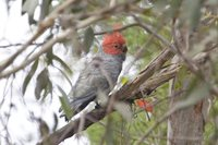 Gang-gang Cockatoo - Callocephalon fimbriatum