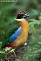 Blue-winged Pitta - Pitta moluccensis