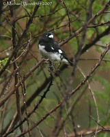 Black-and-white Seedeater - Sporophila luctuosa