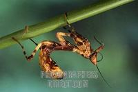 Flower mantid ( Creobroter pictipennis ) stock photo